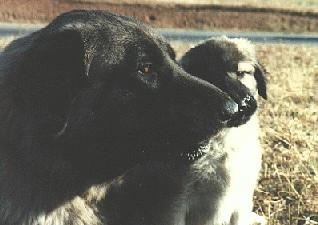 [Picture of: Anatolian puppy with its father]