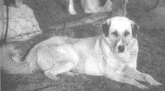 "Flintis - Famous CCF dog. Photo from ""Dogs With Jobs : Working Dogs Around the World"" by Merrily Weisbord and Kim Kachanofe DVM; Pocket Books, a division of Simon & Schuster, New York; hardcover, 250 pages,"