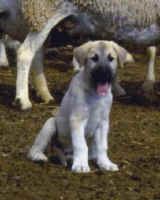 Sponsored Anatolian Puppy in Namibia. Cheetah Conservation Fund
